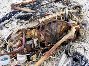 albatross killed by plastic pollution