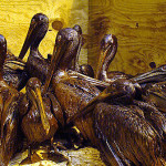 Pelican victims of BP oil spill