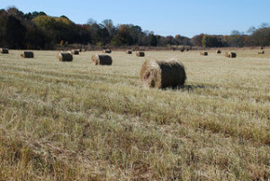 Switchgrass harvest