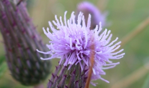 Thistle dew. Now go back and fill out that form!