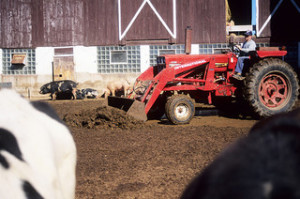 Pig farmer scooping hog waste