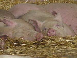 Pigs rest in hoop house