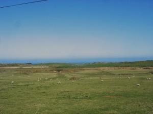 Sheep grazing on reclaimed wetlands