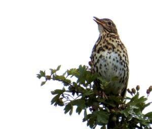 Song thrush -- bird friendly coffee