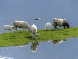 Cows grazing. Sustainable beef