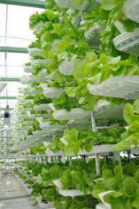 Lettuce growing in a vertical farm. Urban agriculture
