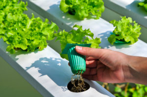 lettuce and roots, hydroponic gardening